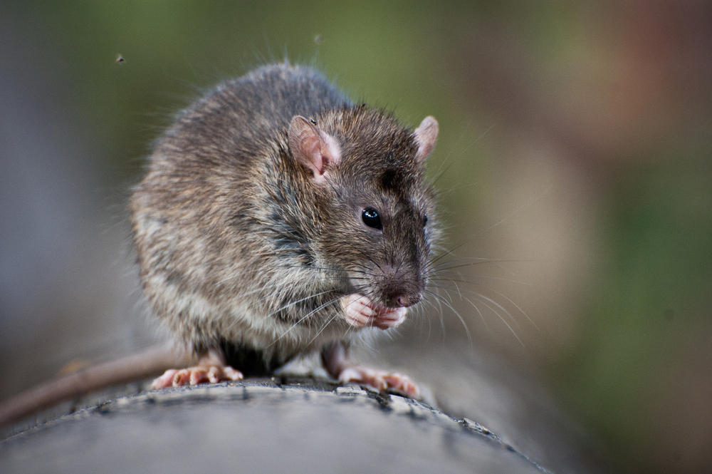 What are the differences between rats and mice?